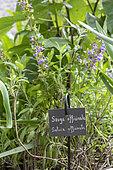 Kitchen sage (Salvia officinalis) in a garden, Summer, Pas de Calais, France