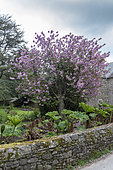 Japanese flowering cherry (Prunus serrulata) in bloom, spring, Cotentin, France