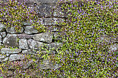 Kenilworth ivy (Cymbalaria muralis) on a wall of old stones, spring, Cotentin, France