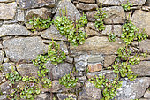 Pennywort (Umbilicus rupestris) on a stone wall, spring, Cotentin, France
