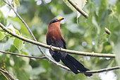 Malcoha à bec peint (Rhamphococcyx calyorhynchus), Parc national Tangkoko, Sulawesi du Nord, Sulawesi, Célèbes, Indonésie