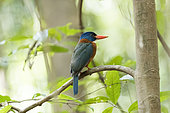 Green-backed kingfisher (Actenoides monachus), Tangkoko National Park, Sulawesi, Celebes, Indonesia