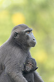 Celebes crested macaque or crested black macaque, Sulawesi crested macaque, or the black ape (Macaca nigra) Mother and baby, Tangkoko National Park, Sulawesi, Celebes, Indonesia