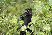Celebes crested macaque or crested black macaque, Sulawesi crested macaque, or the black ape (Macaca nigra), Tangkoko National Park, Sulawesi, Celebes, Indonesia