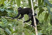 Celebes crested macaque or crested black macaque, Sulawesi crested macaque, or the black ape (Macaca nigra) young, Tangkoko National Park, Sulawesi, Celebes, Indonesia