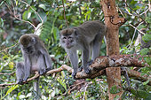 Crab-eating macaque or long-tailed macaque (Macaca fascicularis), near by the water, Tanjung Puting National Park, Borneo, Indonesia