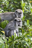 Crab-eating macaque or long-tailed macaque (Macaca fascicularis), in the tree, Tanjung Puting National Park, Borneo, Indonesia