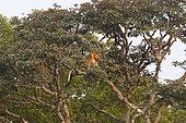 Proboscis monkey or long-nosed monkey (Nasalis larvatus), Tanjung Puting National Park, Borneo, Indonesia