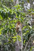 Proboscis monkey or long-nosed monkey (Nasalis larvatus), in a tree, Tanjung Puting National Park, Borneo, Indonesia