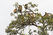Proboscis monkey or long-nosed monkey (Nasalis larvatus), group gathering in a dormitory tree to spend the night, Tanjung Puting National Park, Borneo, Indonesia