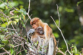 Proboscis monkey or long-nosed monkey (Nasalis larvatus), Adult female and baby, Tanjung Puting National Park, Borneo, Indonesia