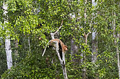 Proboscis monkey or long-nosed monkey (Nasalis larvatus), adult male in a tree, Tanjung Puting National Park, Borneo, Indonesia