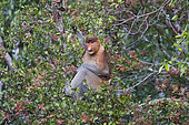 Proboscis monkey or long-nosed monkey (Nasalis larvatus), adult male in a tree, eating leaves, Tanjung Puting National Park, Borneo, Indonesia