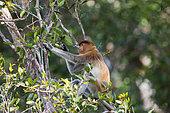 Proboscis monkey or long-nosed monkey (Nasalis larvatus), in a tree, eating leaves, Tanjung Puting National Park, Borneo, Indonesia