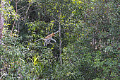 Proboscis monkey or long-nosed monkey (Nasalis larvatus), jmping from tree to tree, Tanjung Puting National Park, Borneo, Indonesia