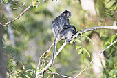 Silvery lutung or silvered leaf monkey or the silvery langur or Silver leaf monkey (Trachypithecus cristatus), adult near by the water of Sekonyer river, Tanjung Puting National Park, Borneo, Indonesia, Asia