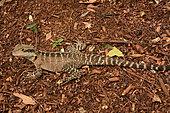 Eastern Water Dragons (Intellagama lesueurii), Sydney, NSW, Australia