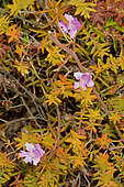 Snakebush (Hemiandra pungens), Nambung National Park, WA, Australia