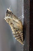 Old World Swallowtail (Papilio machaon) Chrysalis on a portal, Brittany, France