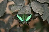 Emerald Swallowtail (Papilio palinurus) in a breeding greenhouse, Yvelines, France