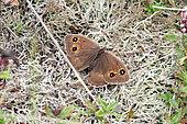 Ringlet (Erebia sp) on the ground near Lake Monteynard, Isère, France