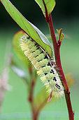 Pale Tussock (Calliteara pudibunda) caterpillar on its feeder plant, Brittany, France