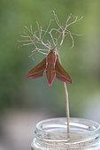 Emergence of a Elephant Hawk-moth (Deilephila elpenor), Brittany, France