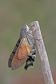 Emergence of Olive Bee Hawk-moth (Macroglossum stellatarum), Brittany, France