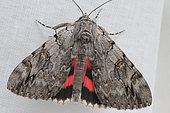 Underwing moth (Catocala sp) posed on a white cloth, Brittany, France