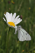 Black-veined White (Aporia crataegi) on a daisy flower, Jura, France