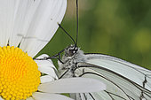 Portrait of Black-veined White (Aporia crataegi) on a daisy flower, Jura, France