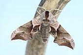 Eyed Hawkmoth (Smerinthus ocellata) emergence, Brittany, France