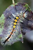 Rusty Tussock Moth (Orgyia antiqua) on rose leaf, Brittany, France