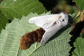 Brown-tail Moth (Euproctis chrysorrhoea) laying on a shrub, Brittany, France