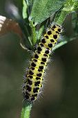 Six-spot Burnet (Zygaena fillipendulae) caterpillar, Brittany, France