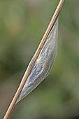 Six-spot Burnet (Zygaena fillipendulae) cocoon, Brittany, France