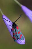 Six-spot Burnet (Zygaena fillipendulae) on Agapanthe (Agapanthus sp), Brittany, France