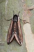 Privet Hawk-moth (Sphinx ligustri) on a trunk of Eucalyptus, Brittany, France