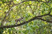 Rhesus Monkey or Rhesus Macaque (Macaca mulatta) young in a tree, Chitwan National Park, Nepal