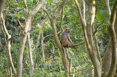 Rhesus Monkey or Rhesus Macaque (Macaca mulatta) in a tree, Chitwan National Park, Nepal