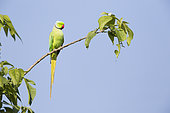 Rose-ringed Parakeet (Psittacula krameri) on a branch, Chitwan National Park, Nepa