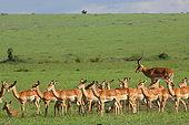 Impala (Aepyceros melampus) male and harem, Masai Mara, Kenya
