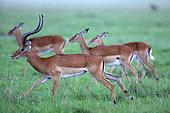 Impala (Aepyceros melampus) herd in the rain, Masai Mara, Kenya