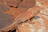 Central netted dragon (Ctenophorus nuchalis), King Canyons, NT, Australia