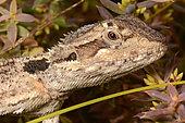 Western Bearded Dragon (Pogona minor), Nambung National Park, WA, Australia