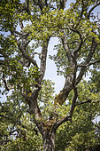 Downy Oak (Quercus pubescens), old forest, Natural site 2000, Luberon, Vaucluse, France
