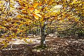 Beech (Fagus sylvatica), Plate forest, Luberon, Vaucluse, France