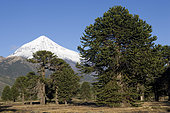 Lanin Volcano (3,776 m) and Araucaria forest.Lanin National Park.Neuquen Province, Argentina