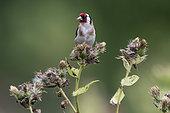 European goldfinch (Carduelis carduelis) eating thistle seeds, Vosges, France