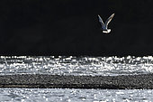 Black-head gull (Chroicocephalus ridibundus) in flight, Loire banks, France